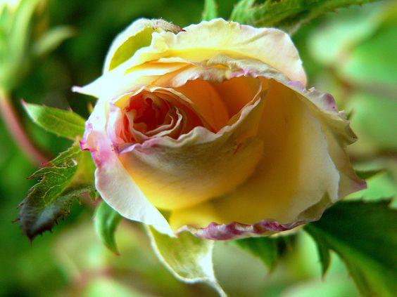 Un bellissimo bocciolo di rosa!: Petal Perfect, Rose, Flowers Plants, Flowers Flowers Flowers, Flower Power, Flawless Flowers, Yellow Roses, Bellissimo Bocciolo