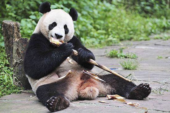 Ecoturismo pode ajudar China a proteger os pandas que ainda vivem em seu habitat natural.
