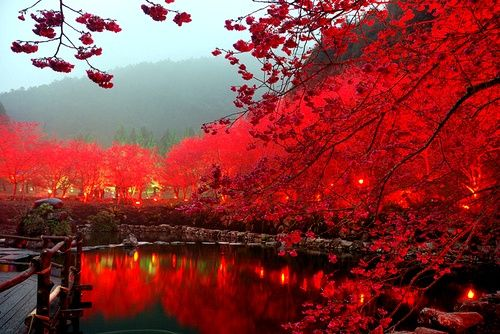 Lighted Cherry Blossom Lake, Sakura, Japan