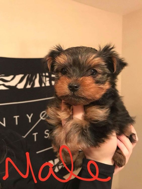 Pure Yorkshire Chiens Et Chiots A Adopter Laval Rive Nord Kijiji Dogs And Puppies Puppies Dogs