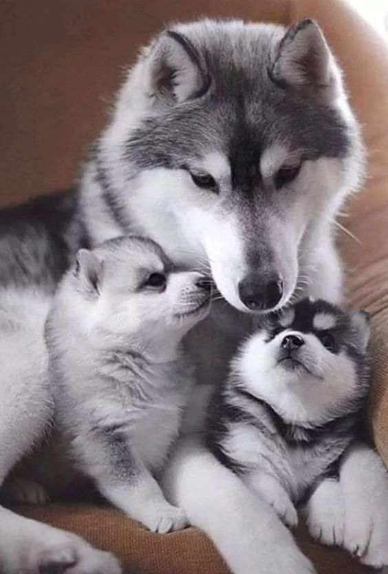 Pin Em For Love Of Huskies Malamutes And Northern Breeds