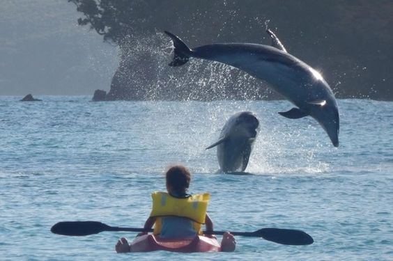 Dolphins leaping, Kaimarama Bay, Bay of Islands, New Zealand