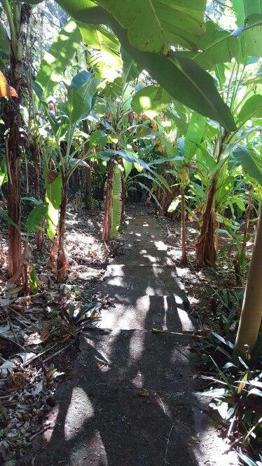 BAJANDO A LAS PLANTAS DE GUINEO  A LA FINCA EN EL CERRO LA MESA DE MAYAGUEZ PUERTO RICO
