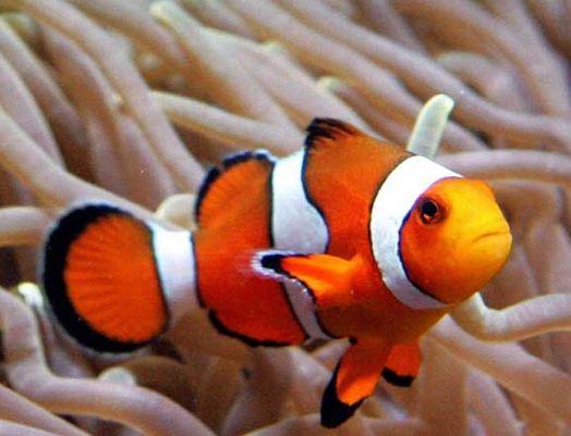 ... Ocean Animals Clown fish - nemo under the sea pinterest clownfish