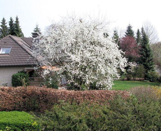 pflaumenbaum- die ernte war sehr gut