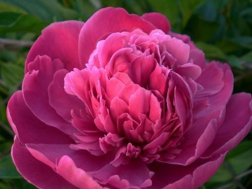Pâquerette : beauté innocente, aspiration. Pavot : frivolité. Pensée : pensées ! Pétunia : obstacle. Pivoine blanche : prenez soin de vous. Pivoine rose ou rouge : sincérité. Pois de senteur : charme, élégance. Primevère : premier amour.
