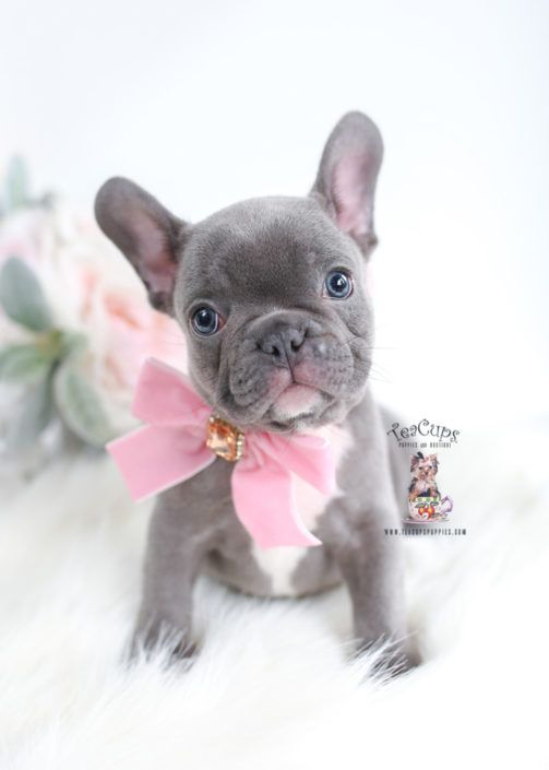 Blue French Bulldog Puppy For Sale 033 C Bulldog Puppies French
