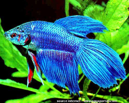 Poisson combattant aquarium alimentation photos for Quoi mettre aquarium poisson rouge