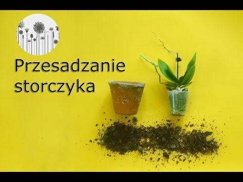 Jak Przesadzic Storczyka Przesadzanie Sadzenie Storczykow Pielegnacja Phalaenopsis Youtube Healthy Plants Herbs Plants