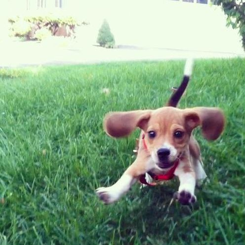 Beagle pictures 25 pinterest people seriously need to stop posting cute beagle pictures voltagebd Gallery