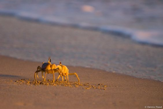 Fighting Crabs: Living Nature, Featured Creatures, Fauna Crustaceans, Aquatic Fauna, Lowcountry Livin, Crabs Inspiration, Fighting Crabs, Beach Scenes, Beach Crawlers