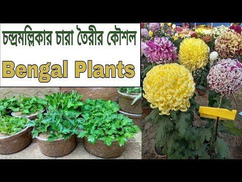How To Easily Make Chrysanthemum Saplings চন দ রমল ল ক র চ র গ ছ ত র Youtube Saplings Chrysanthemum Plants