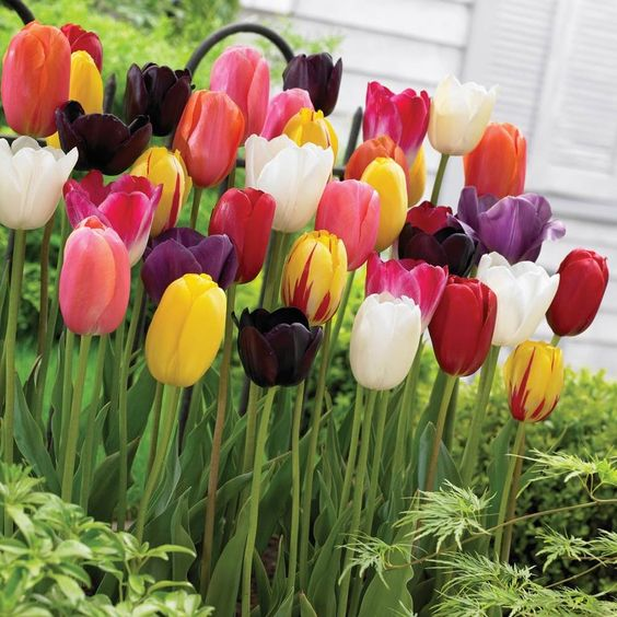 Tulip facts. http://www.gardenandgreen.co.uk/tulip-facts/4591155691