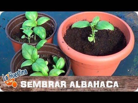 Un Especialista Nos Explica Paso A Paso Lo Que Este Té Produce En Su Organismo Y Por Qué Como Cultivar Albahaca Como Plantar Albahaca Como Sembrar Semillas