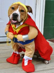 Mika (aka.Meeka) is an adoptable Pit Bull Terrier mix in Winchendon, MA. Well, as you can see I am not afraid to dress up in a Wonder Woman costume! When you reach 5yrs old, 35 in dogs years, you don't ca...