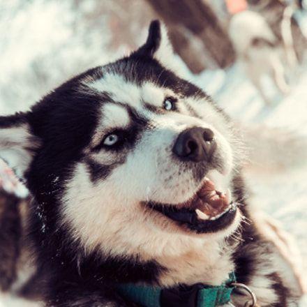 Eliminate Over 30 Common Behavioral Siberian Husky Issues