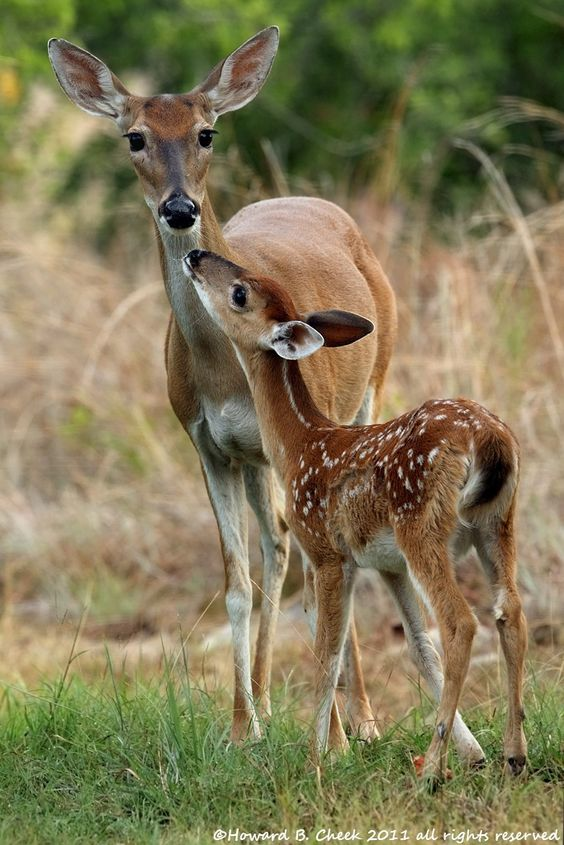 Fawn with mother-: