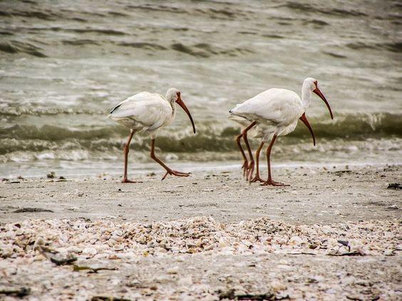 Sanibel Islands Birds