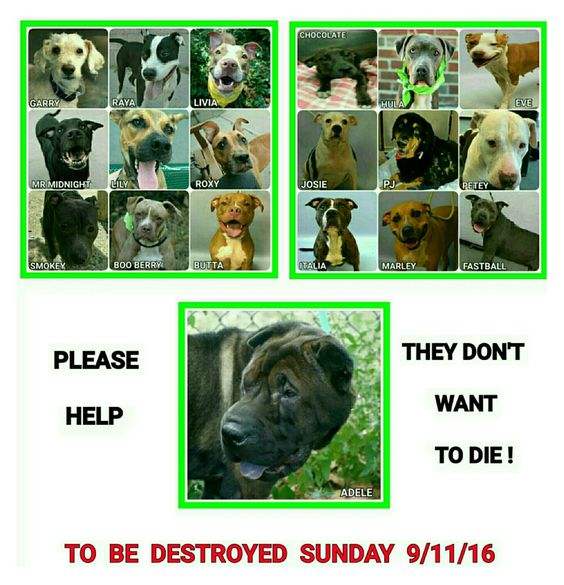 🔥🔥🔥🔥19 BEAUTIFUL LIVES TO BE DESTROYED TOMARROW SUNDAY 9-11-16🔥🔥🔥🔥 💗💗PLEASE SHARE ADOPT OR FOSTER TO SAVE A LIFE. THEY NEED YOUR HELP NOW💓💓 💜💜💜ALL AVAILABLE @NYCDOGS.URGENTPODR.ORG 💥FOR NOW 💥MAYBE GONE TOMARROW 💔💔💔💔