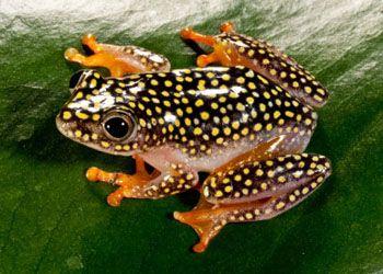 family Hyperoliidae - bush/ sedge frogs - Heterixalus alboguttatus