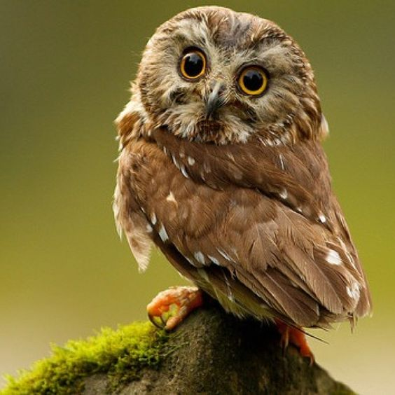 This little fellow is a Northern Saw-whet Owl.