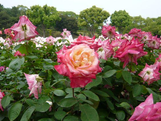 rose ingrid bergman climbing rose pinterest ingrid. Black Bedroom Furniture Sets. Home Design Ideas