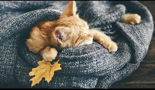 Sweet Little Orange Striped Tabby Kitty Cat Kitten Sleeping In A Fall Blanket Cute Animals Kittens Cats