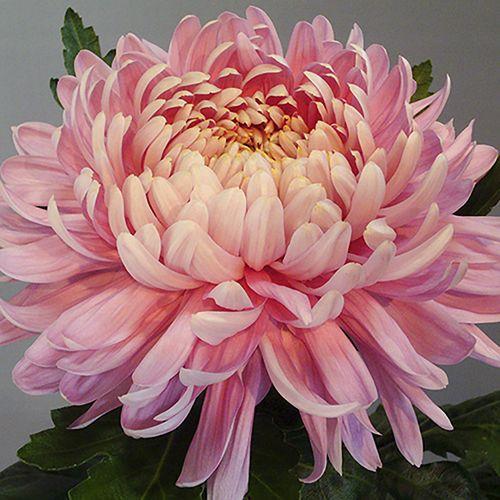 Chrysanthemum 'Garden Bloom' Collection