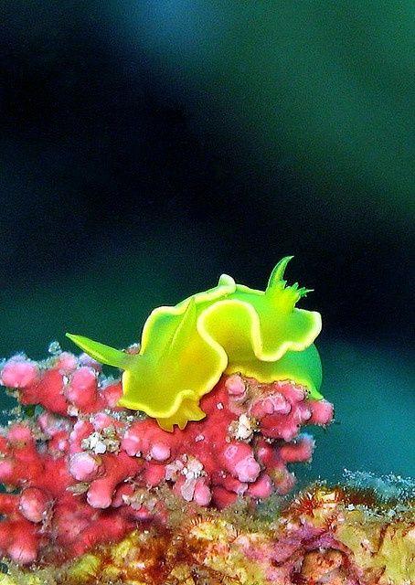 Nudibranch Beautiful Creatures Pinterest Neon Green