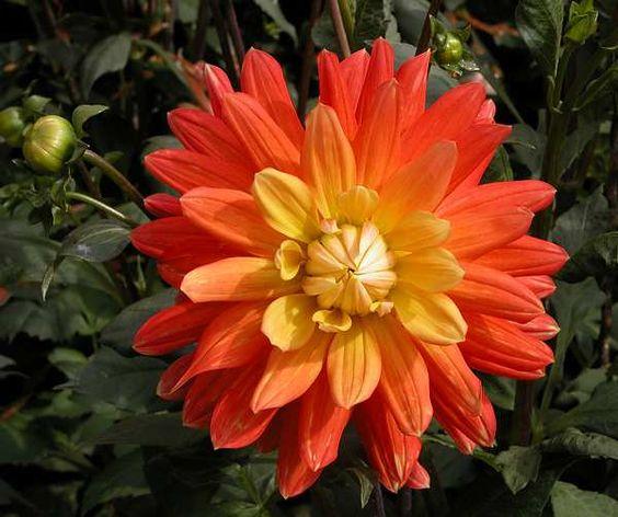"Brandaris Dahlia (7"" bloom; 3.5' bush): orang and yellow; semi-cactus."