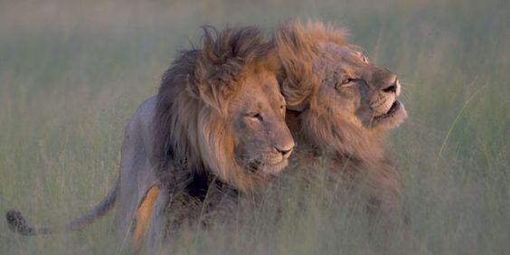 Чи існують гомосексуальні тварини?