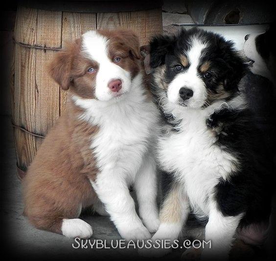 8 week old aussie puppies