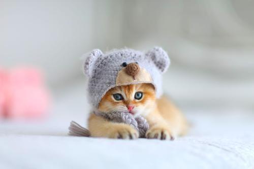Christmas Eyeshadow Looks British Shorthair Kittens