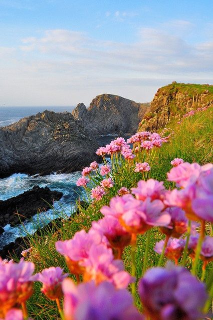 Wildflowers on Sea Cliffs, Cionn Mhálanna, Ireland