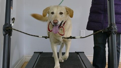 Dog Training Train Your Dog To Walk On A Treadmill With Images