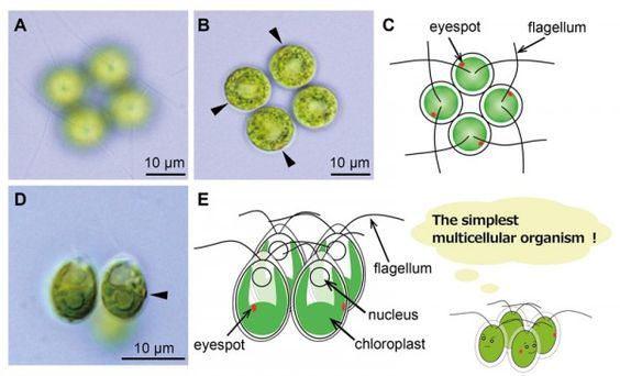The simplest multicellular organism unveiled - Technology Org