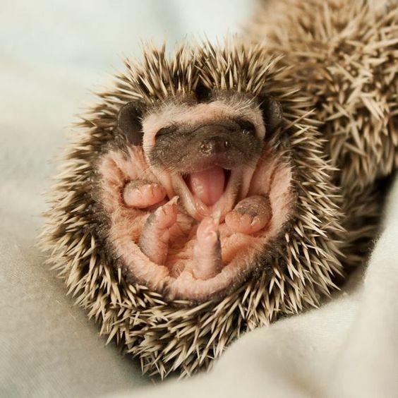 He's So Happy | Bored Panda #babyhedgehogs