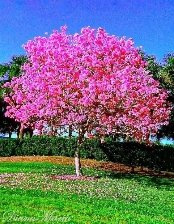 "gardeninglovers: "" Dogwood Tree """