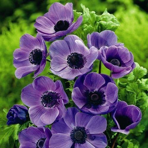 Anemone Coronaria Mr Fokker Anemone Flower Bulb Flowers Purple Flowers