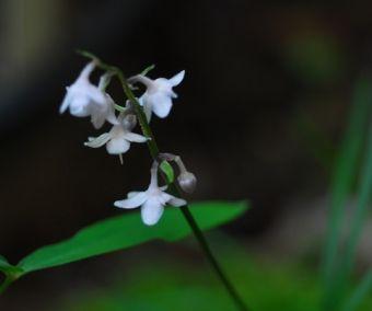Ophiopogon japonicus CBCH315