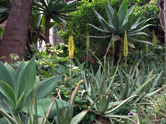 DIe Echte Aloe (Aloe vera) mit Agave attenuata auf Madeira. Sehr exotisch.