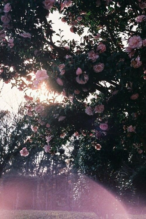 Image via We Heart It https://weheartit.com/entry/137760126/via/26341278 #flowers #gorgeous #grunge #hipster #indie #photography #trees #vintage