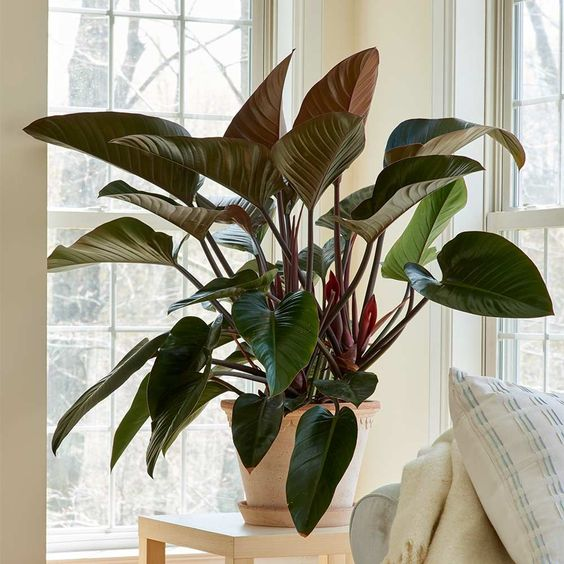 Philodendron Congo, perfect tropical indoor plants.