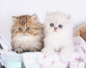 Teacup & Toy Persian Kittens