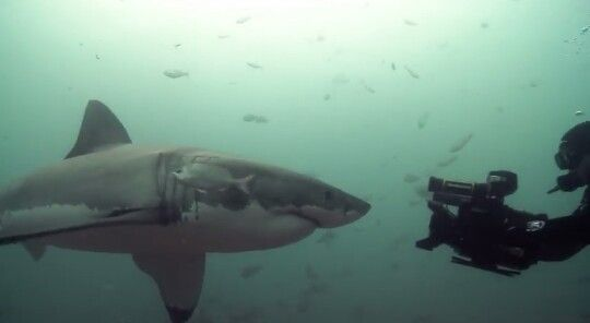 South Africa diving with great white sharks