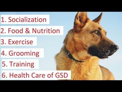 German Shepherd Choosing Feeding Socializing Grooming