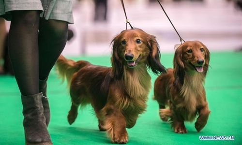 Two Long Haired Dachshund Dogs Are Seen At An International Dog