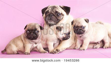 Purebred Pug Puppy Poster Newborn Puppies Baby Pugs Pugs Funny
