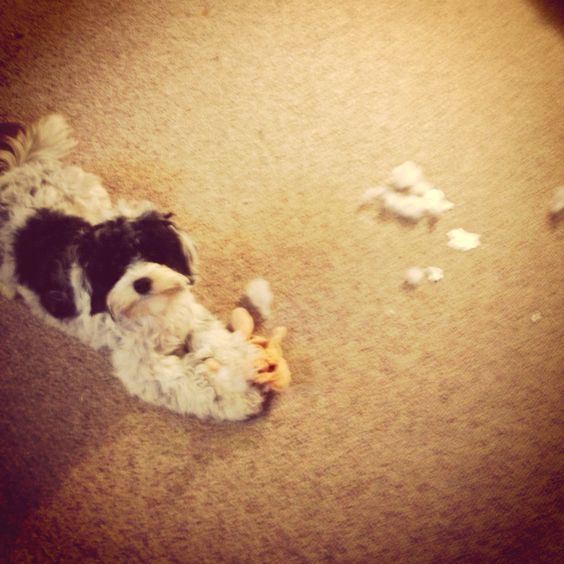 Daphne, caught in the act of toy destruction.