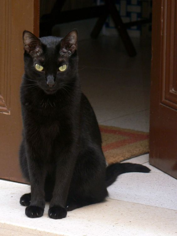 Gat negre 1 - http://dailyfunnypets.com/pictures/cats-pics/gat-negre-1/ - Gat negre 1  Image by Xavier68 Menorca - negre